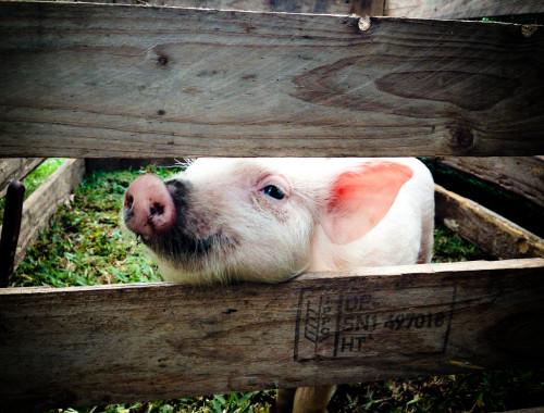 Little pig.